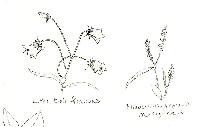Bell and Spike Flower Sketch