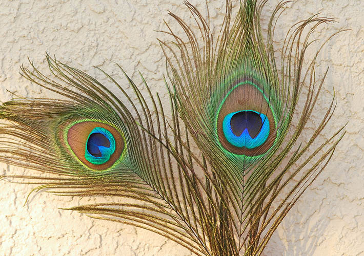Colored pencil drawing of peacock feathers