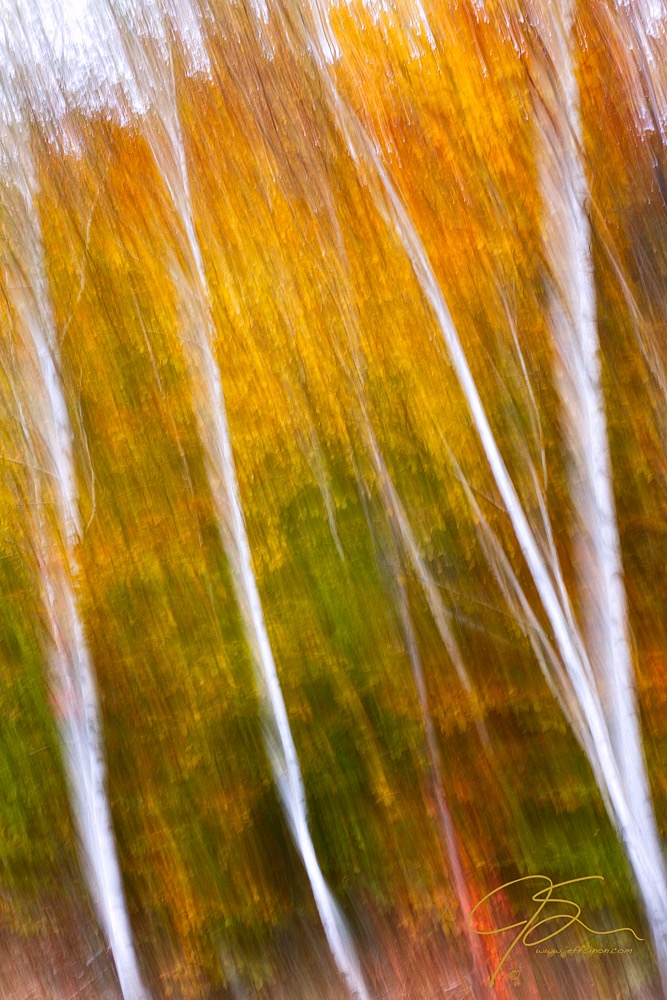 Birch trees photographed using camera motion during exposure.