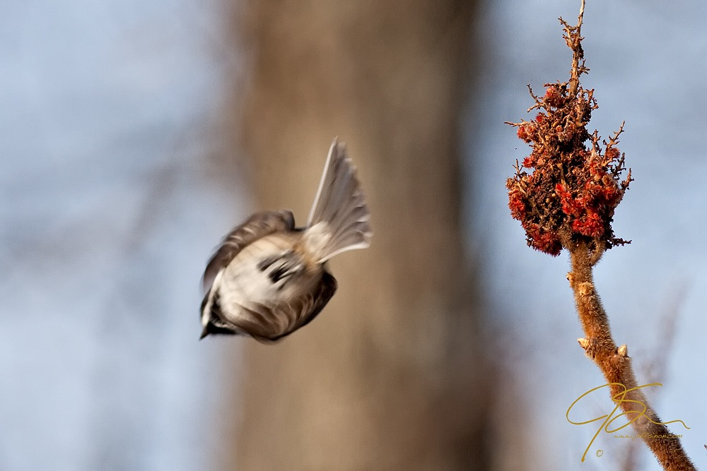 A black-capped chickadee taking off from a sumac branch.