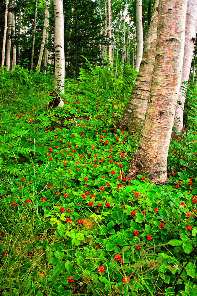 Brilliant white birch trees and bright red bunchberry.