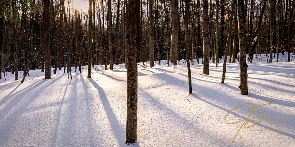 Bare trees cast their shadows on the snow covered forest floor