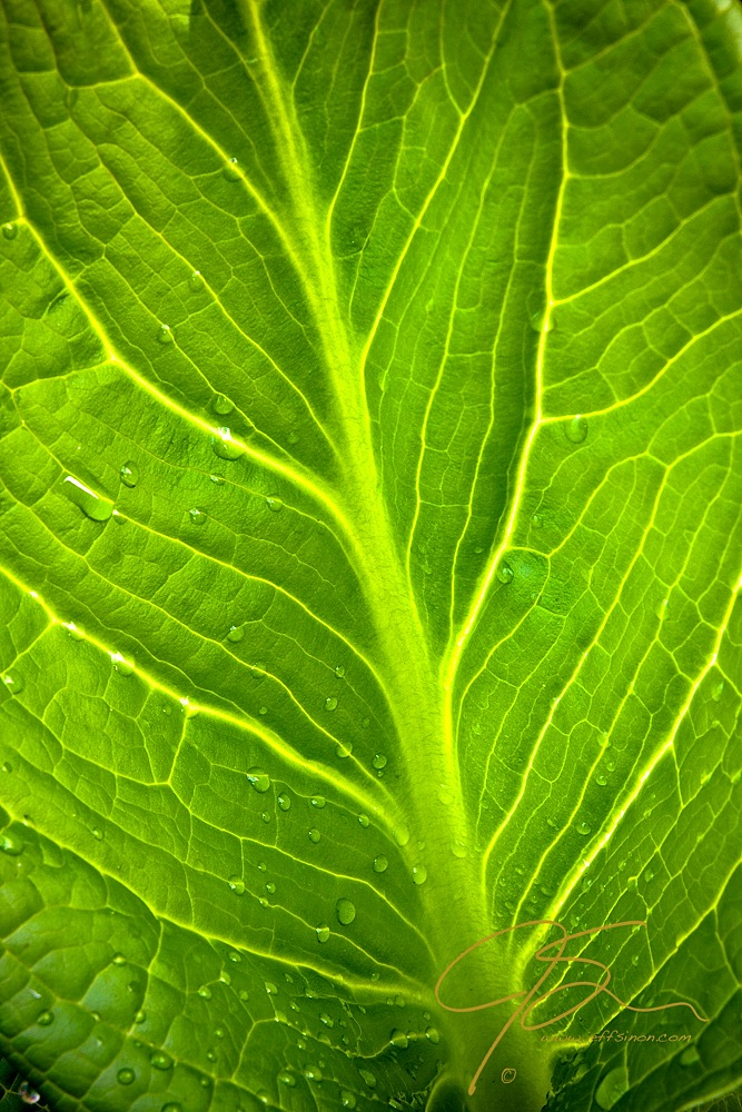 Skunk Cabbage Leaf With Water Drops.