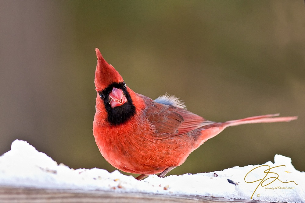 Bright red male northern cardinal standing on snow and looking right at the viewer.