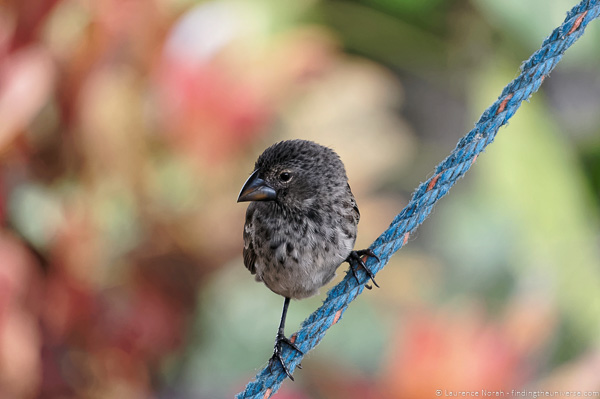 Galapagos finch on rope