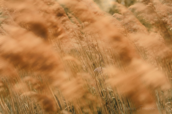 Prairie Grass in the Wind