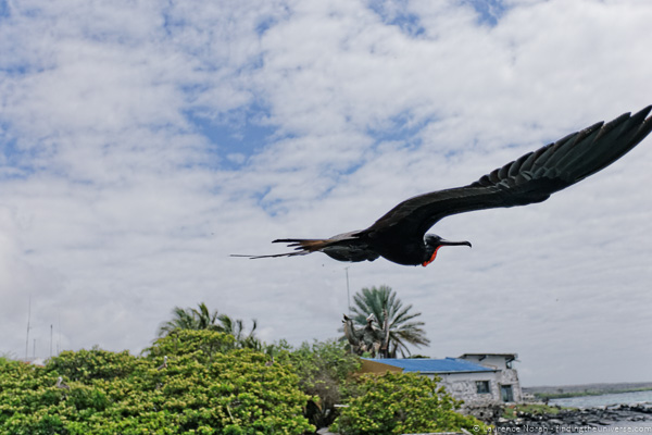 Male frigate bird flies past Galapagos