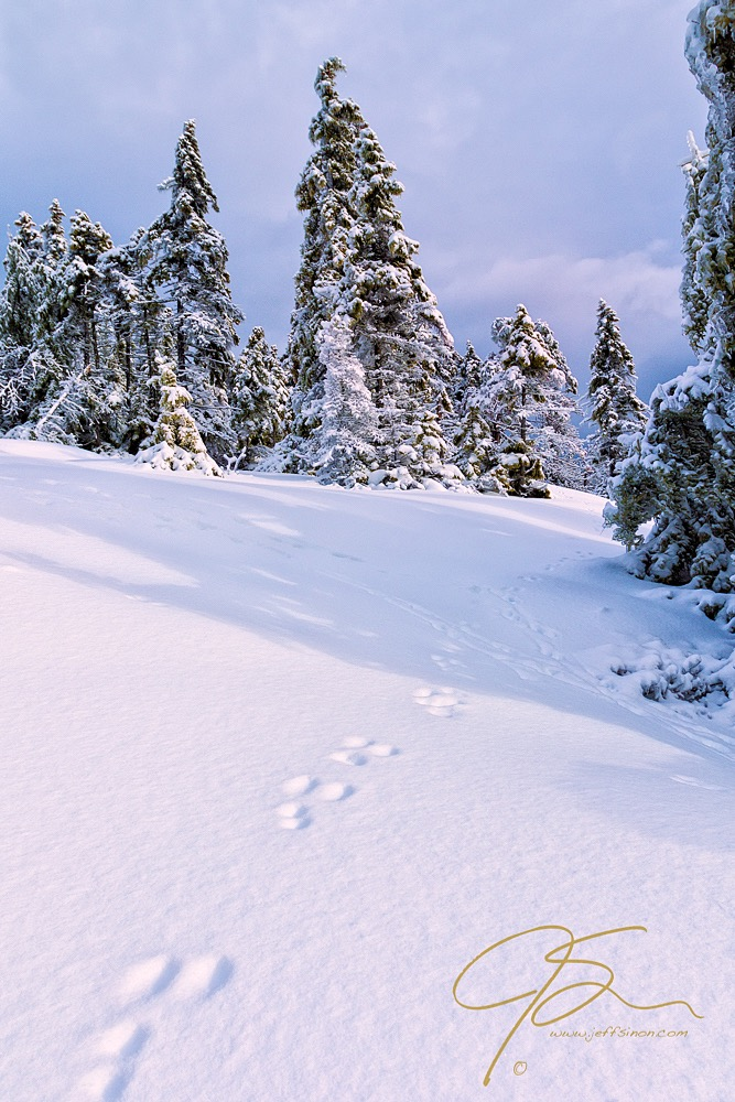 Fresh snow in the forest, disturbed only by a few animal tracks.