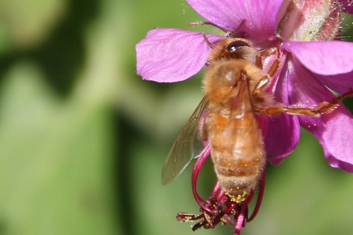 Macro close photograph of a bumble bee