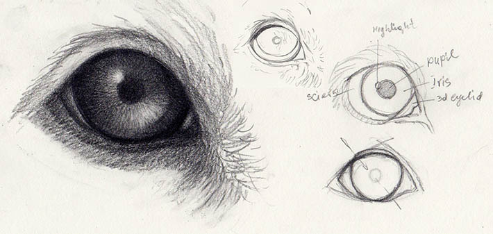 dog eye anatomic structure