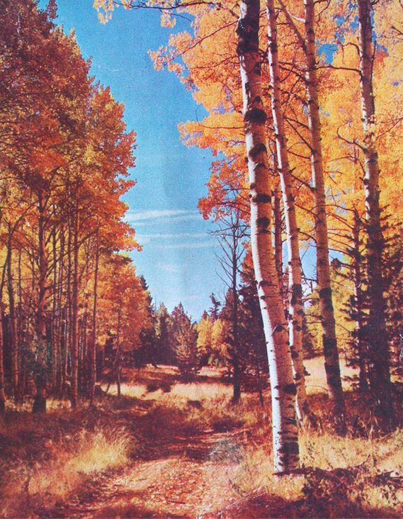 Forrest of Aspen Birch Trees