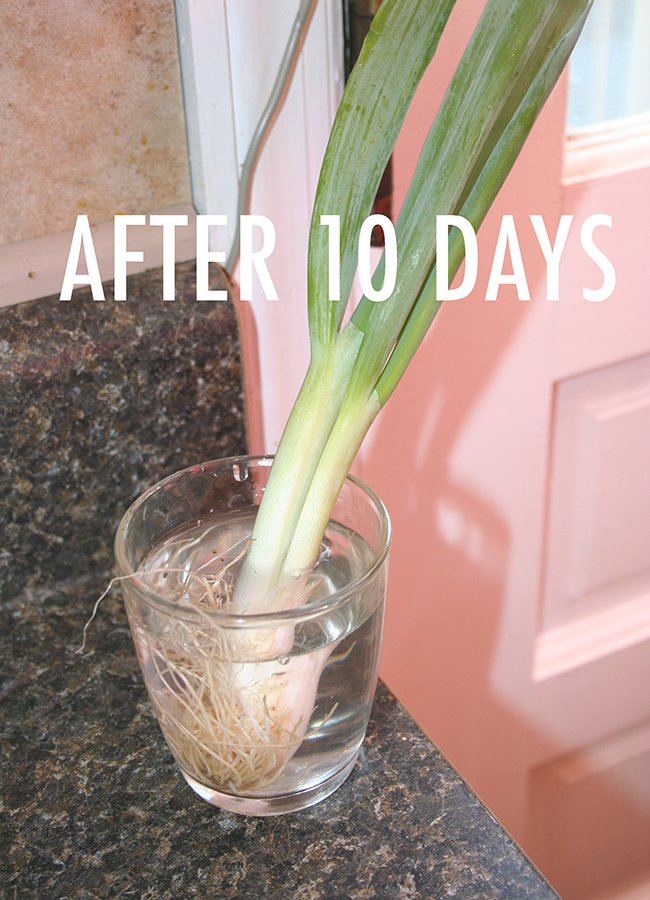 Green onions, regrown