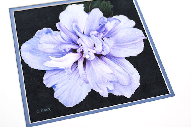 Realistic Colored Pencil Flower By Cynthia Knox