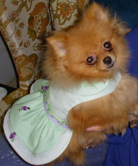 Fluffy Dog Wearing Green Dress