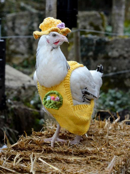 Chicken Wearing a Sweater