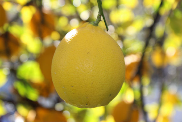 Lemon Hanging in Tree
