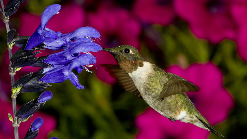 Photographing Hummingbirds