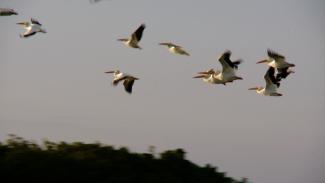 012444f_b2c93u_c-spoonbills-white-pelicans