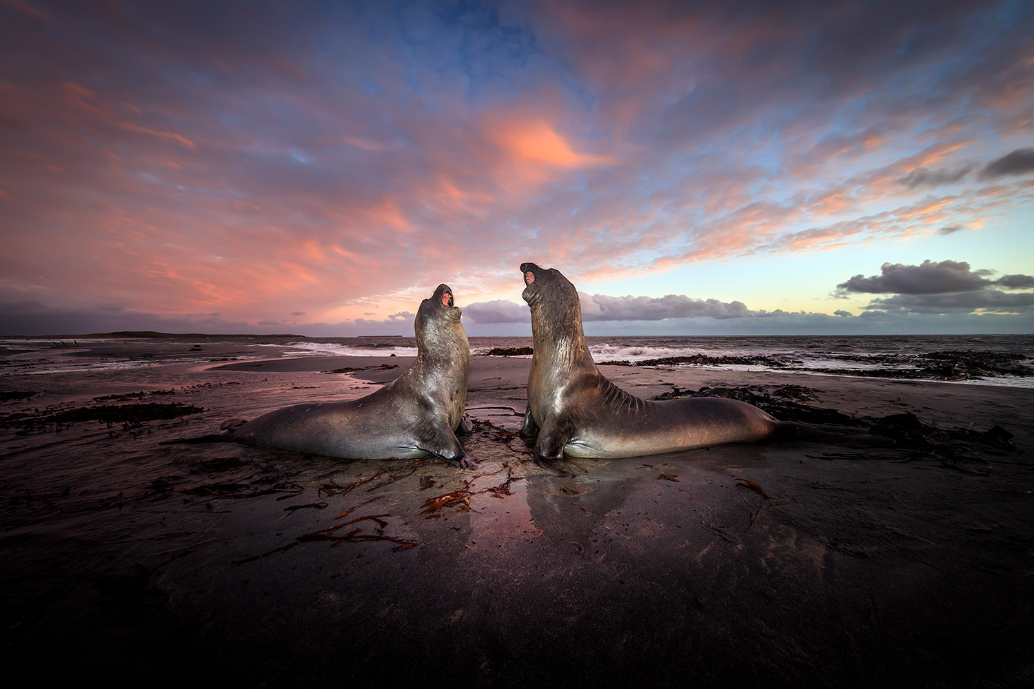 a pair of bellicose elephant seals
