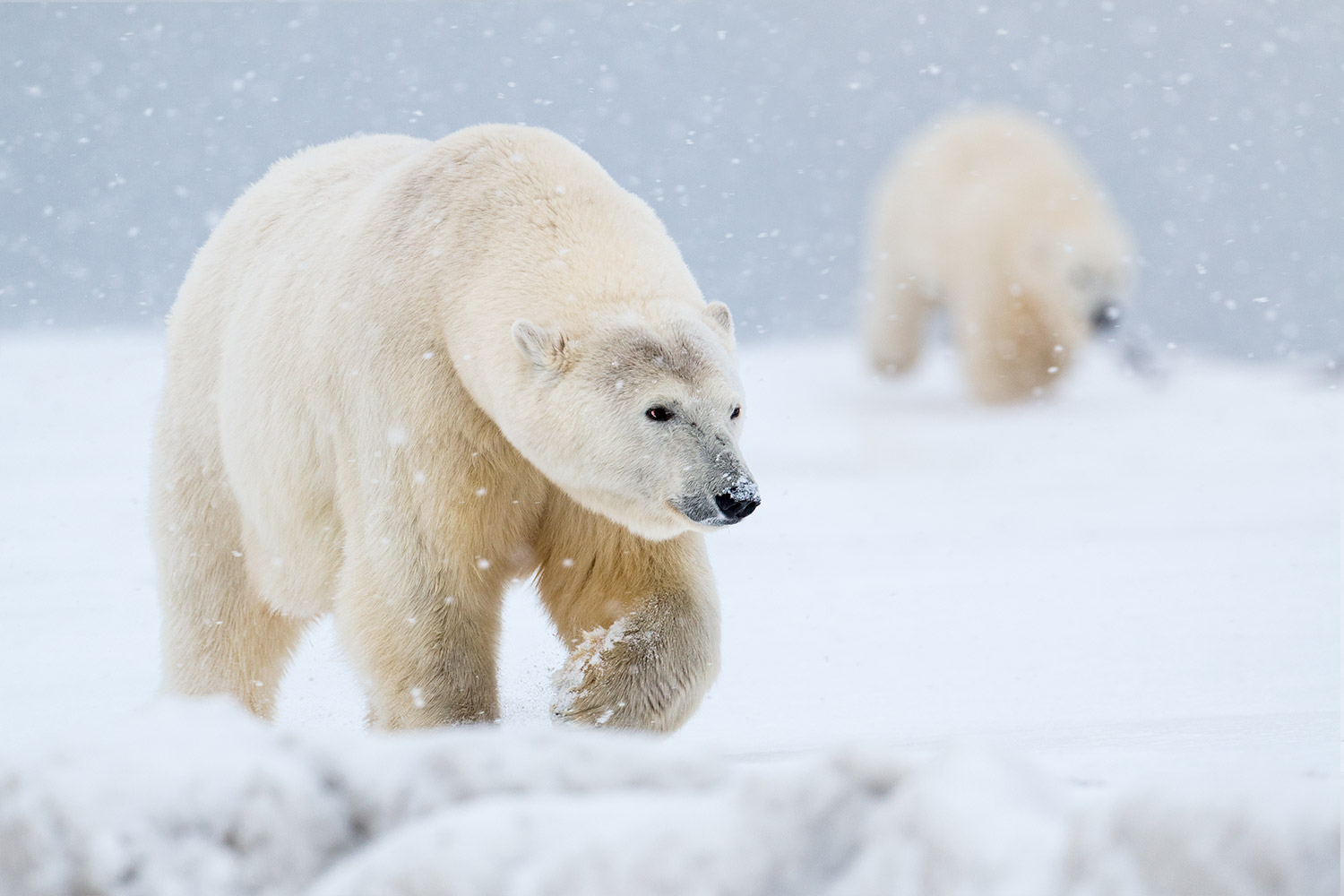 two polar bears in the snow