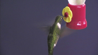 OPG 012532f_B2D81U_c Techinques for Photographing Hummingbirds