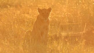 Kenya-Course-Backlighting-with-Lions