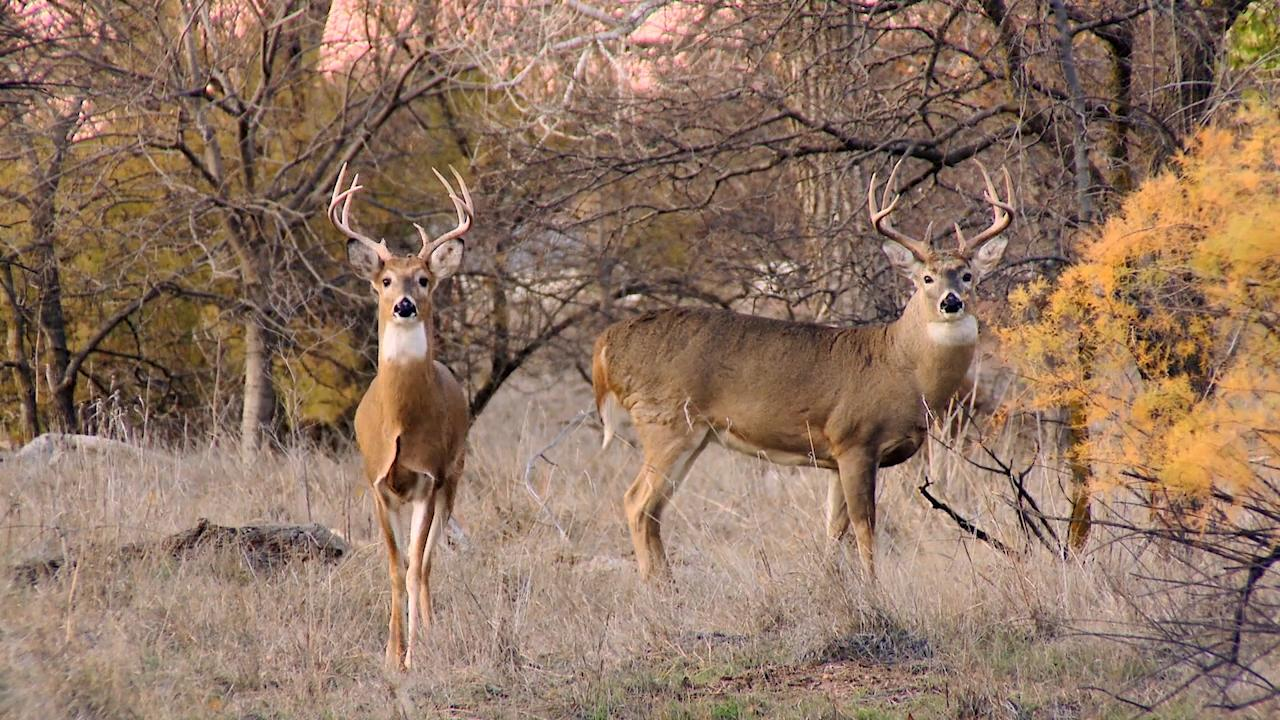 Capturing the Kansas City Whitetail Deer