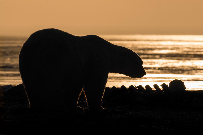 Polar Bear Shadow
