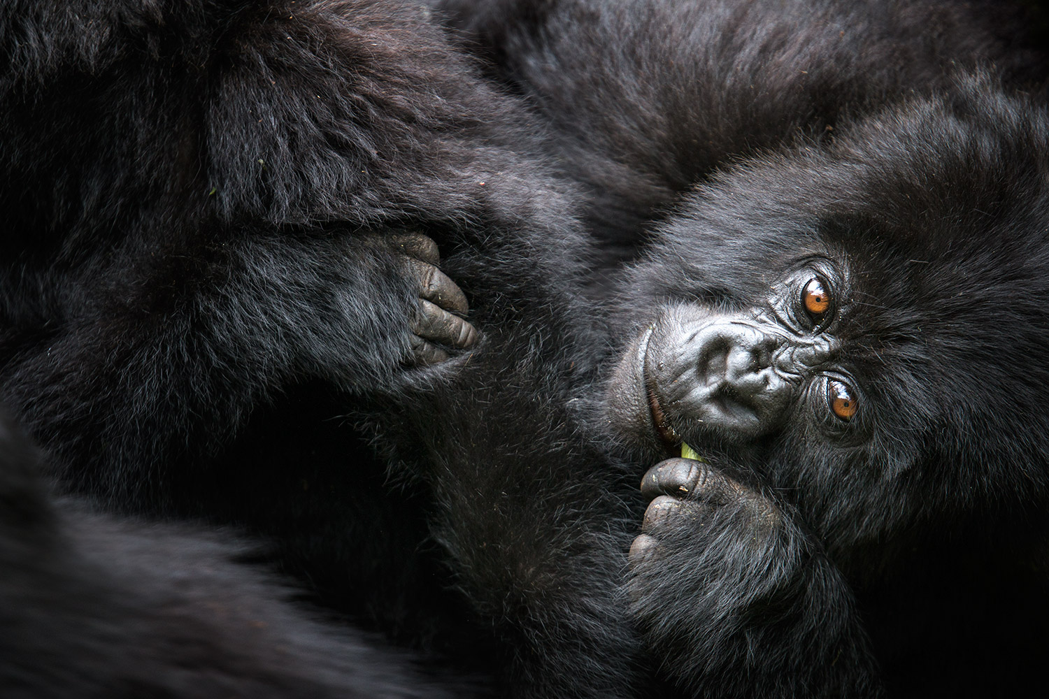 mountain-gorillas-2