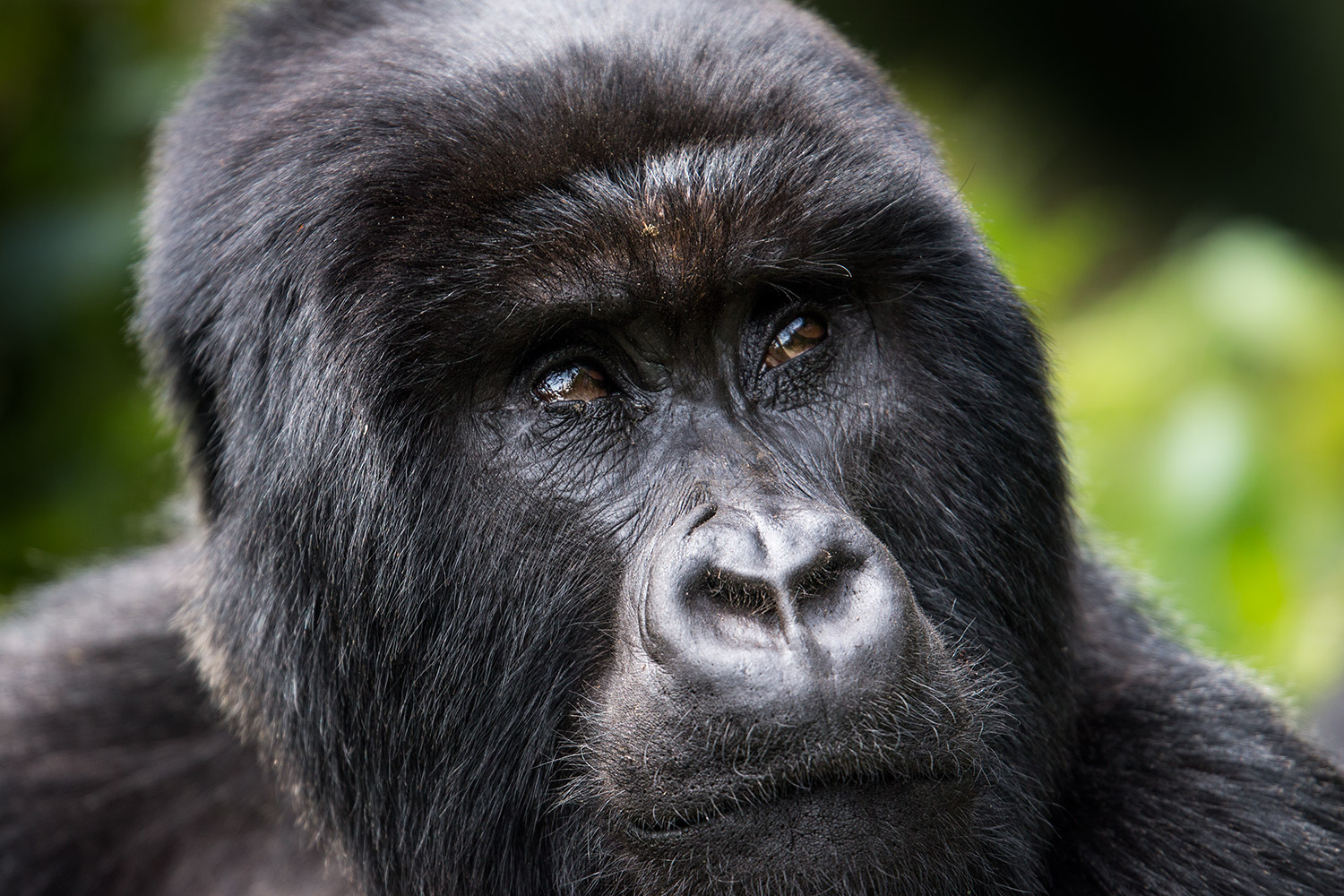 mountain-gorillas-3