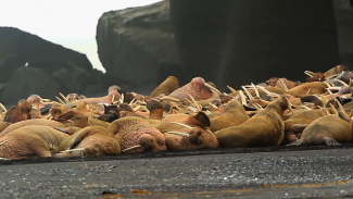 Wildlife Photography: Capturing Alaskan Walruses