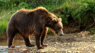 Encounters with Brown Bears