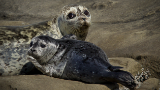 Locating Harbor Seals: Wildlife Photography