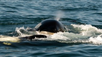 Wildlife Photography: Capturing Southern Resident Killer Whales