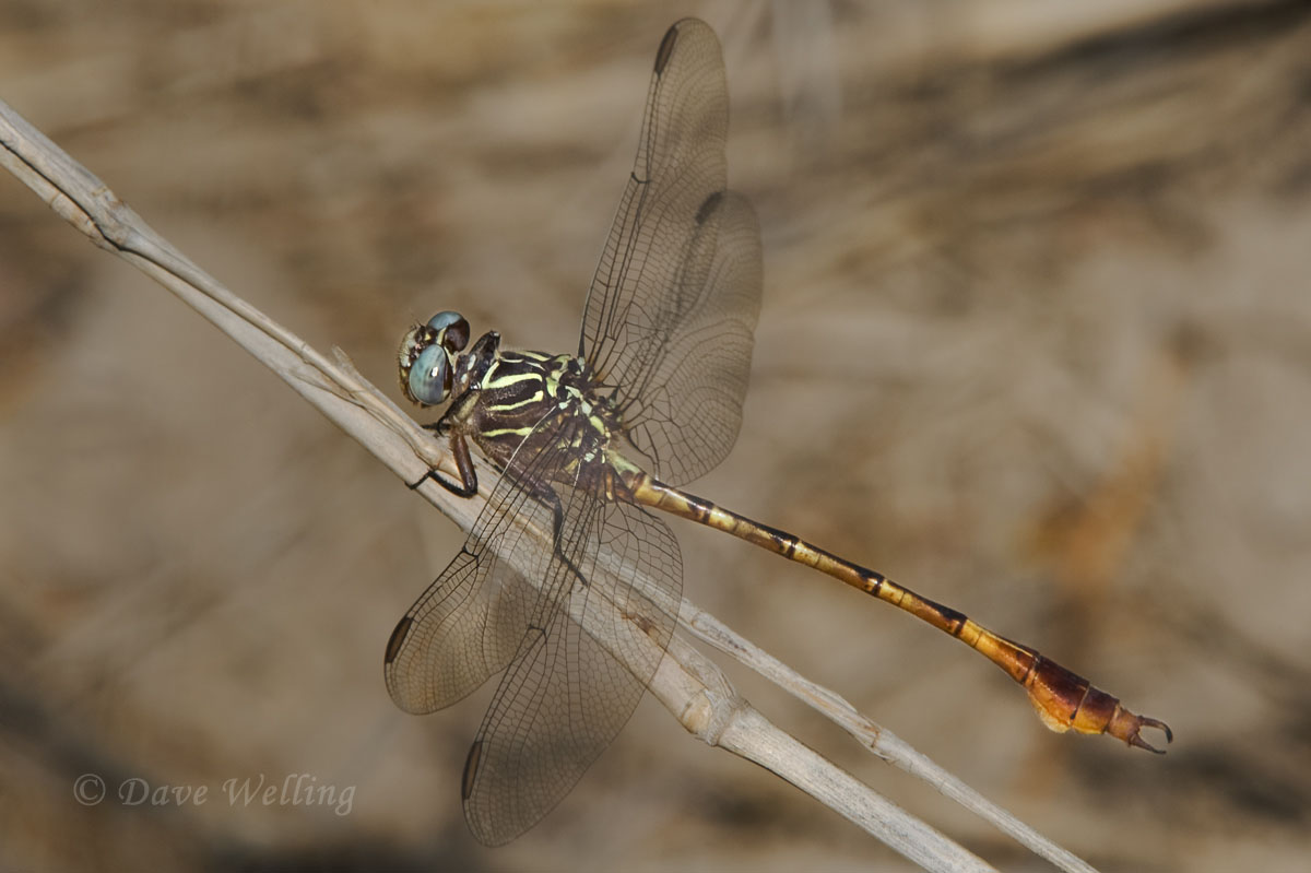 WILD Narrow-striped Forceptail