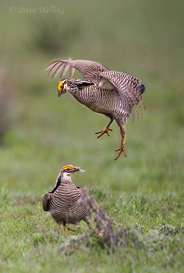 the lesser prairie chicken tympanuchus pallidicinctus is a large open plains endangered bird
