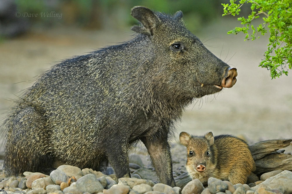 javelinas or collared peccaries dicolytes tajacu are large herd member herbivores native to the southwestern united states down through mexico and central and south america