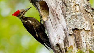 Photographing Pileated Woodpeckers from a Blind