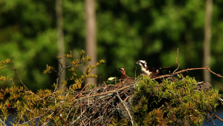 Tips & Techniques to Photographing Osprey
