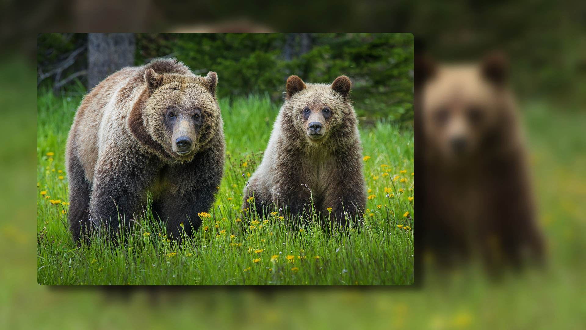 Photographing Grizzly Bears