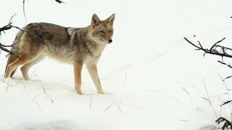 009945f_B2639U_c Coyote Snack