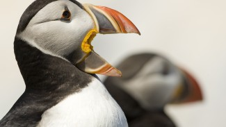 Wildlife Photography Course on Atlantic Puffins - Course Preview