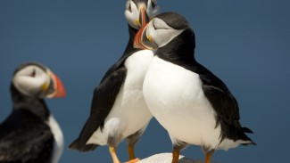 Background on Atlantic Puffins